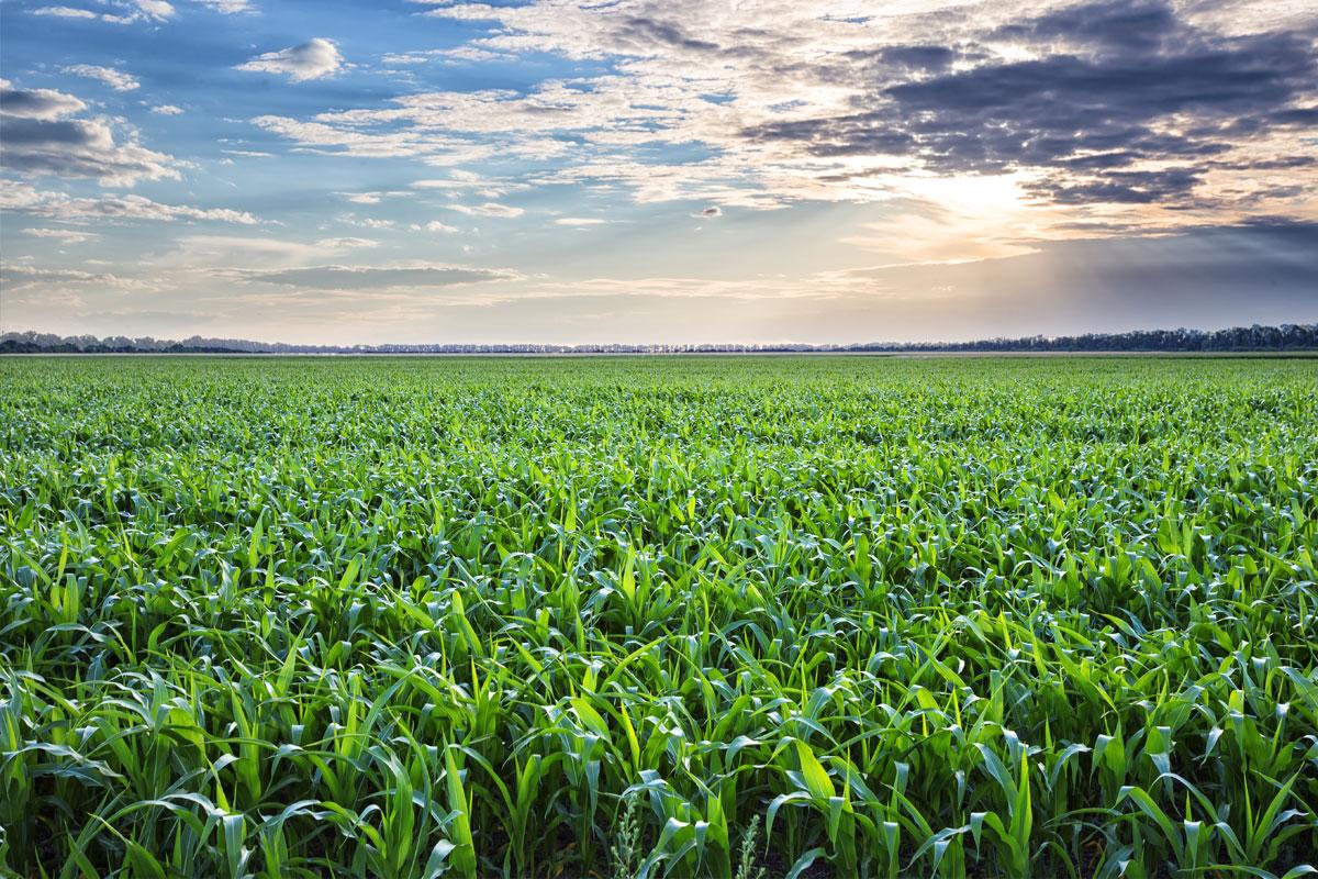 mısır üretimi